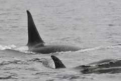 JC_orcas_0001