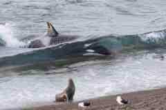 JC_orcas_0010